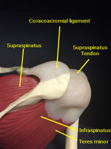 Posterior view of shoulder muscles