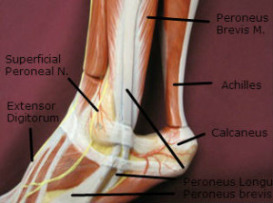achilles-insertion-lateral-labeled