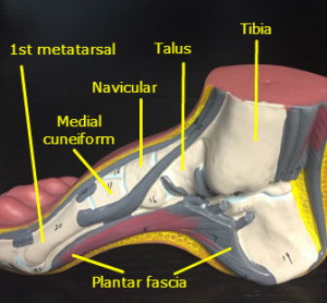 muscles, tendons, and bones in the foot.