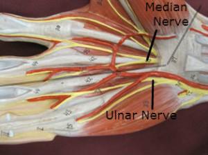 Nerves in hand - median and ulnar nerve