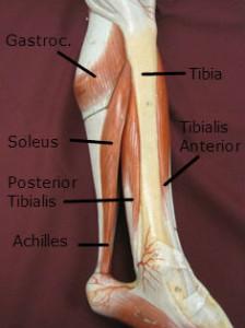 Leg muscles of lower leg