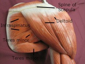 Shoulder muscles commonly injured