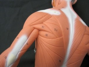 Muscles that control scapulae
