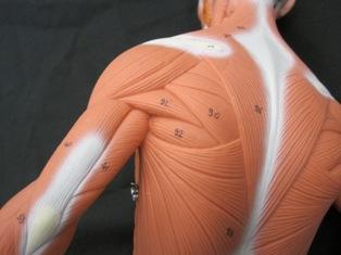Dorsal Scapular Nerve Pathway
