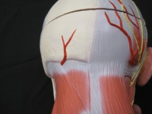 Muscles of back of head