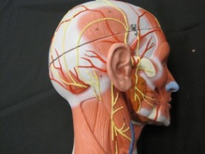 Muscles and nerves of the head and neck.