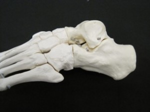 Lateral view of bones in the foot