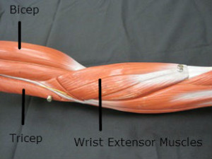 Lateral elbow muscles